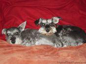 dogs, schnauzers