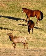 horses, elk, meadow